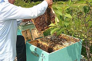 Bienenhonig Herstellung